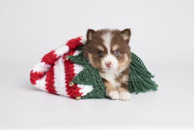 puppy153 week5 BowTiePomsky.com Bowtie Pomsky Puppy For Sale Husky Pomeranian Mini Dog Spokane WA Breeder Blue Eyes Pomskies Celebrity Puppy web4