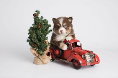 puppy153 week5 BowTiePomsky.com Bowtie Pomsky Puppy For Sale Husky Pomeranian Mini Dog Spokane WA Breeder Blue Eyes Pomskies Celebrity Puppy web5