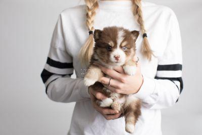 puppy153 week5 BowTiePomsky.com Bowtie Pomsky Puppy For Sale Husky Pomeranian Mini Dog Spokane WA Breeder Blue Eyes Pomskies Celebrity Puppy web7