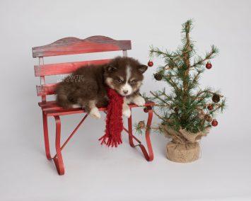 puppy153 week7 BowTiePomsky.com Bowtie Pomsky Puppy For Sale Husky Pomeranian Mini Dog Spokane WA Breeder Blue Eyes Pomskies Celebrity Puppy web3