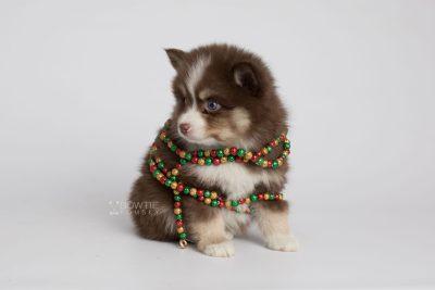 puppy153 week7 BowTiePomsky.com Bowtie Pomsky Puppy For Sale Husky Pomeranian Mini Dog Spokane WA Breeder Blue Eyes Pomskies Celebrity Puppy web6