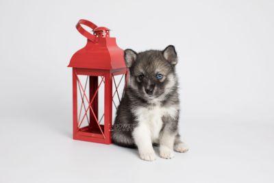 puppy154 week5 BowTiePomsky.com Bowtie Pomsky Puppy For Sale Husky Pomeranian Mini Dog Spokane WA Breeder Blue Eyes Pomskies Celebrity Puppy web4