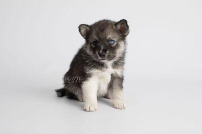 puppy154 week5 BowTiePomsky.com Bowtie Pomsky Puppy For Sale Husky Pomeranian Mini Dog Spokane WA Breeder Blue Eyes Pomskies Celebrity Puppy web7