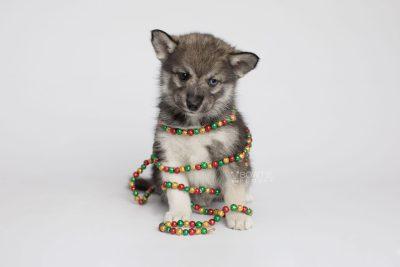 puppy154 week7 BowTiePomsky.com Bowtie Pomsky Puppy For Sale Husky Pomeranian Mini Dog Spokane WA Breeder Blue Eyes Pomskies Celebrity Puppy web4