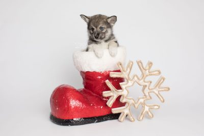 puppy154 week7 BowTiePomsky.com Bowtie Pomsky Puppy For Sale Husky Pomeranian Mini Dog Spokane WA Breeder Blue Eyes Pomskies Celebrity Puppy web5