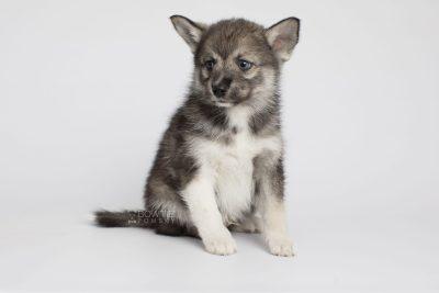 puppy154 week7 BowTiePomsky.com Bowtie Pomsky Puppy For Sale Husky Pomeranian Mini Dog Spokane WA Breeder Blue Eyes Pomskies Celebrity Puppy web6