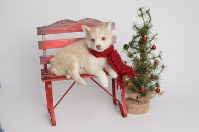 puppy155 week7 BowTiePomsky.com Bowtie Pomsky Puppy For Sale Husky Pomeranian Mini Dog Spokane WA Breeder Blue Eyes Pomskies Celebrity Puppy web2