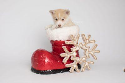 puppy155 week7 BowTiePomsky.com Bowtie Pomsky Puppy For Sale Husky Pomeranian Mini Dog Spokane WA Breeder Blue Eyes Pomskies Celebrity Puppy web6