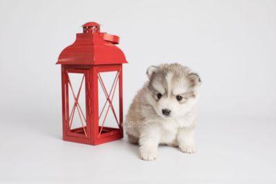 puppy156 week5 BowTiePomsky.com Bowtie Pomsky Puppy For Sale Husky Pomeranian Mini Dog Spokane WA Breeder Blue Eyes Pomskies Celebrity Puppy web4
