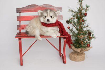 puppy156 week7 BowTiePomsky.com Bowtie Pomsky Puppy For Sale Husky Pomeranian Mini Dog Spokane WA Breeder Blue Eyes Pomskies Celebrity Puppy web2
