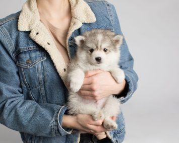 puppy156 week7 BowTiePomsky.com Bowtie Pomsky Puppy For Sale Husky Pomeranian Mini Dog Spokane WA Breeder Blue Eyes Pomskies Celebrity Puppy web9