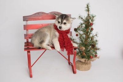 puppy157 week7 BowTiePomsky.com Bowtie Pomsky Puppy For Sale Husky Pomeranian Mini Dog Spokane WA Breeder Blue Eyes Pomskies Celebrity Puppy web2