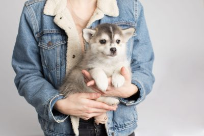 puppy157 week7 BowTiePomsky.com Bowtie Pomsky Puppy For Sale Husky Pomeranian Mini Dog Spokane WA Breeder Blue Eyes Pomskies Celebrity Puppy web8b