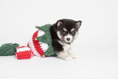 puppy158 week5 BowTiePomsky.com Bowtie Pomsky Puppy For Sale Husky Pomeranian Mini Dog Spokane WA Breeder Blue Eyes Pomskies Celebrity Puppy web4