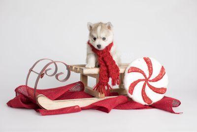 puppy159 week5 BowTiePomsky.com Bowtie Pomsky Puppy For Sale Husky Pomeranian Mini Dog Spokane WA Breeder Blue Eyes Pomskies Celebrity Puppy web2