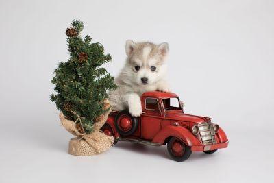 puppy159 week5 BowTiePomsky.com Bowtie Pomsky Puppy For Sale Husky Pomeranian Mini Dog Spokane WA Breeder Blue Eyes Pomskies Celebrity Puppy web6