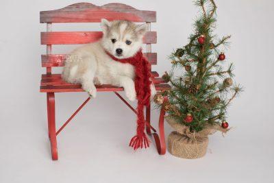puppy159 week7 BowTiePomsky.com Bowtie Pomsky Puppy For Sale Husky Pomeranian Mini Dog Spokane WA Breeder Blue Eyes Pomskies Celebrity Puppy web3