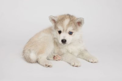 puppy159 week7 BowTiePomsky.com Bowtie Pomsky Puppy For Sale Husky Pomeranian Mini Dog Spokane WA Breeder Blue Eyes Pomskies Celebrity Puppy web4
