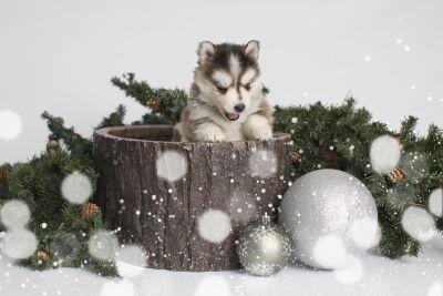 puppy160 week5 BowTiePomsky.com Bowtie Pomsky Puppy For Sale Husky Pomeranian Mini Dog Spokane WA Breeder Blue Eyes Pomskies Celebrity Puppy web1