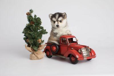 puppy160 week5 BowTiePomsky.com Bowtie Pomsky Puppy For Sale Husky Pomeranian Mini Dog Spokane WA Breeder Blue Eyes Pomskies Celebrity Puppy web3
