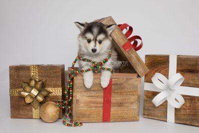 puppy160 week7 BowTiePomsky.com Bowtie Pomsky Puppy For Sale Husky Pomeranian Mini Dog Spokane WA Breeder Blue Eyes Pomskies Celebrity Puppy web1