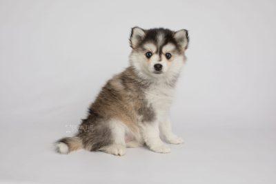 puppy160 week7 BowTiePomsky.com Bowtie Pomsky Puppy For Sale Husky Pomeranian Mini Dog Spokane WA Breeder Blue Eyes Pomskies Celebrity Puppy web4