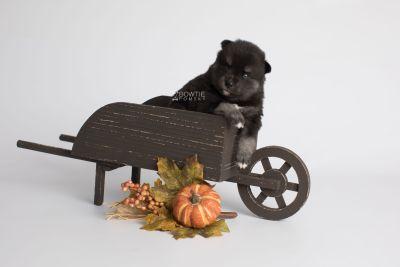 puppy161 week3 BowTiePomsky.com Bowtie Pomsky Puppy For Sale Husky Pomeranian Mini Dog Spokane WA Breeder Blue Eyes Pomskies Celebrity Puppy web1