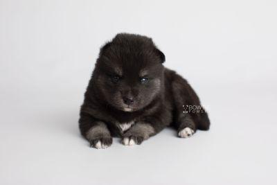 puppy161 week3 BowTiePomsky.com Bowtie Pomsky Puppy For Sale Husky Pomeranian Mini Dog Spokane WA Breeder Blue Eyes Pomskies Celebrity Puppy web5