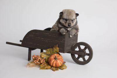 puppy162 week3 BowTiePomsky.com Bowtie Pomsky Puppy For Sale Husky Pomeranian Mini Dog Spokane WA Breeder Blue Eyes Pomskies Celebrity Puppy web1