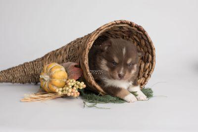 puppy163 week3 BowTiePomsky.com Bowtie Pomsky Puppy For Sale Husky Pomeranian Mini Dog Spokane WA Breeder Blue Eyes Pomskies Celebrity Puppy web1