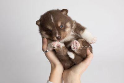 puppy163 week3 BowTiePomsky.com Bowtie Pomsky Puppy For Sale Husky Pomeranian Mini Dog Spokane WA Breeder Blue Eyes Pomskies Celebrity Puppy web8