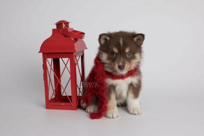 puppy163 week5 BowTiePomsky.com Bowtie Pomsky Puppy For Sale Husky Pomeranian Mini Dog Spokane WA Breeder Blue Eyes Pomskies Celebrity Puppy web3
