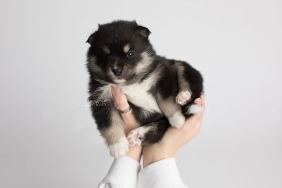 puppy164 week3 BowTiePomsky.com Bowtie Pomsky Puppy For Sale Husky Pomeranian Mini Dog Spokane WA Breeder Blue Eyes Pomskies Celebrity Puppy web6
