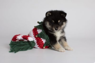 puppy164 week5 BowTiePomsky.com Bowtie Pomsky Puppy For Sale Husky Pomeranian Mini Dog Spokane WA Breeder Blue Eyes Pomskies Celebrity Puppy web4