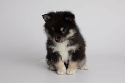 puppy164 week5 BowTiePomsky.com Bowtie Pomsky Puppy For Sale Husky Pomeranian Mini Dog Spokane WA Breeder Blue Eyes Pomskies Celebrity Puppy web5