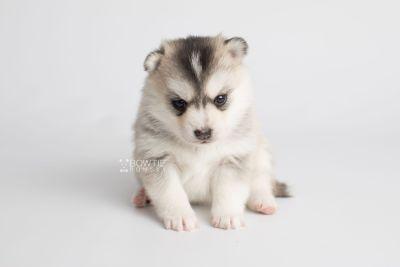 puppy165 week3 BowTiePomsky.com Bowtie Pomsky Puppy For Sale Husky Pomeranian Mini Dog Spokane WA Breeder Blue Eyes Pomskies Celebrity Puppy web4