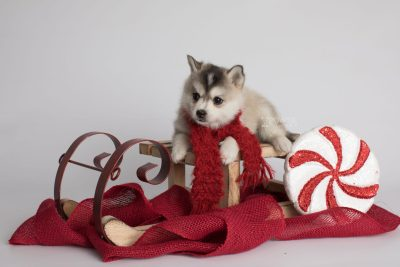 puppy165 week5 BowTiePomsky.com Bowtie Pomsky Puppy For Sale Husky Pomeranian Mini Dog Spokane WA Breeder Blue Eyes Pomskies Celebrity Puppy web4