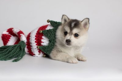 puppy165 week5 BowTiePomsky.com Bowtie Pomsky Puppy For Sale Husky Pomeranian Mini Dog Spokane WA Breeder Blue Eyes Pomskies Celebrity Puppy web5
