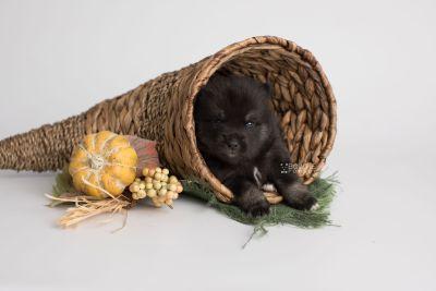 puppy166 week3 BowTiePomsky.com Bowtie Pomsky Puppy For Sale Husky Pomeranian Mini Dog Spokane WA Breeder Blue Eyes Pomskies Celebrity Puppy web2