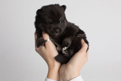 puppy166 week3 BowTiePomsky.com Bowtie Pomsky Puppy For Sale Husky Pomeranian Mini Dog Spokane WA Breeder Blue Eyes Pomskies Celebrity Puppy web7