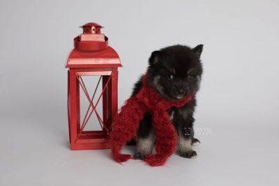 puppy166 week5 BowTiePomsky.com Bowtie Pomsky Puppy For Sale Husky Pomeranian Mini Dog Spokane WA Breeder Blue Eyes Pomskies Celebrity Puppy web2