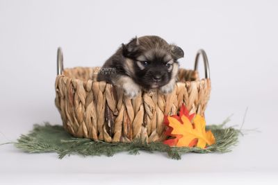 puppy168 week3 BowTiePomsky.com Bowtie Pomsky Puppy For Sale Husky Pomeranian Mini Dog Spokane WA Breeder Blue Eyes Pomskies Celebrity Puppy web3