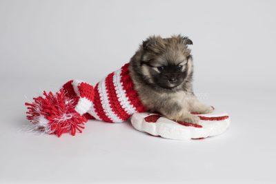puppy168 week5 BowTiePomsky.com Bowtie Pomsky Puppy For Sale Husky Pomeranian Mini Dog Spokane WA Breeder Blue Eyes Pomskies Celebrity Puppy web4