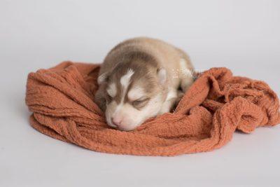 puppy169 week1 BowTiePomsky.com Bowtie Pomsky Puppy For Sale Husky Pomeranian Mini Dog Spokane WA Breeder Blue Eyes Pomskies Celebrity Puppy web4