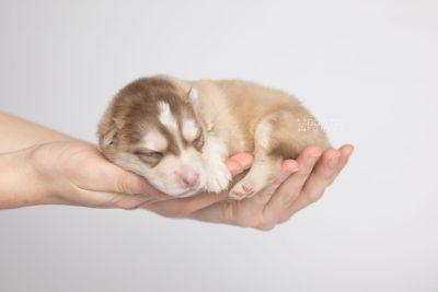 puppy169 week1 BowTiePomsky.com Bowtie Pomsky Puppy For Sale Husky Pomeranian Mini Dog Spokane WA Breeder Blue Eyes Pomskies Celebrity Puppy web6