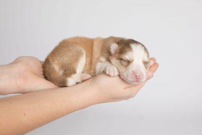 puppy170 week1 BowTiePomsky.com Bowtie Pomsky Puppy For Sale Husky Pomeranian Mini Dog Spokane WA Breeder Blue Eyes Pomskies Celebrity Puppy web7