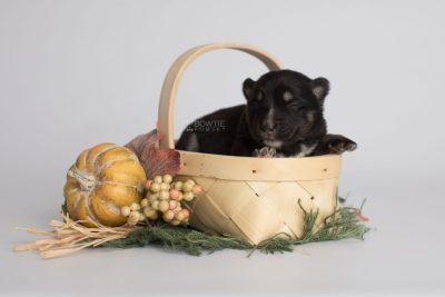 puppy171 week1 BowTiePomsky.com Bowtie Pomsky Puppy For Sale Husky Pomeranian Mini Dog Spokane WA Breeder Blue Eyes Pomskies Celebrity Puppy web2