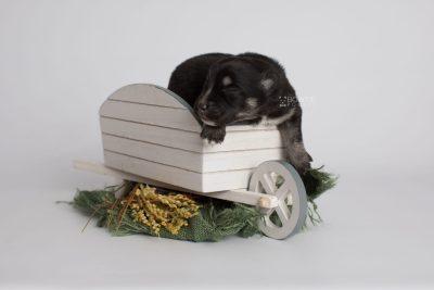 puppy171 week1 BowTiePomsky.com Bowtie Pomsky Puppy For Sale Husky Pomeranian Mini Dog Spokane WA Breeder Blue Eyes Pomskies Celebrity Puppy web3