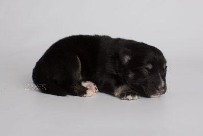 puppy171 week1 BowTiePomsky.com Bowtie Pomsky Puppy For Sale Husky Pomeranian Mini Dog Spokane WA Breeder Blue Eyes Pomskies Celebrity Puppy web7