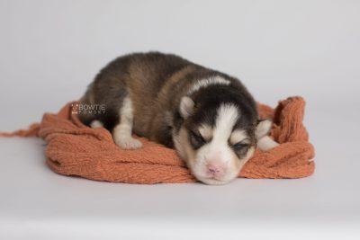 puppy172 week1 BowTiePomsky.com Bowtie Pomsky Puppy For Sale Husky Pomeranian Mini Dog Spokane WA Breeder Blue Eyes Pomskies Celebrity Puppy web5